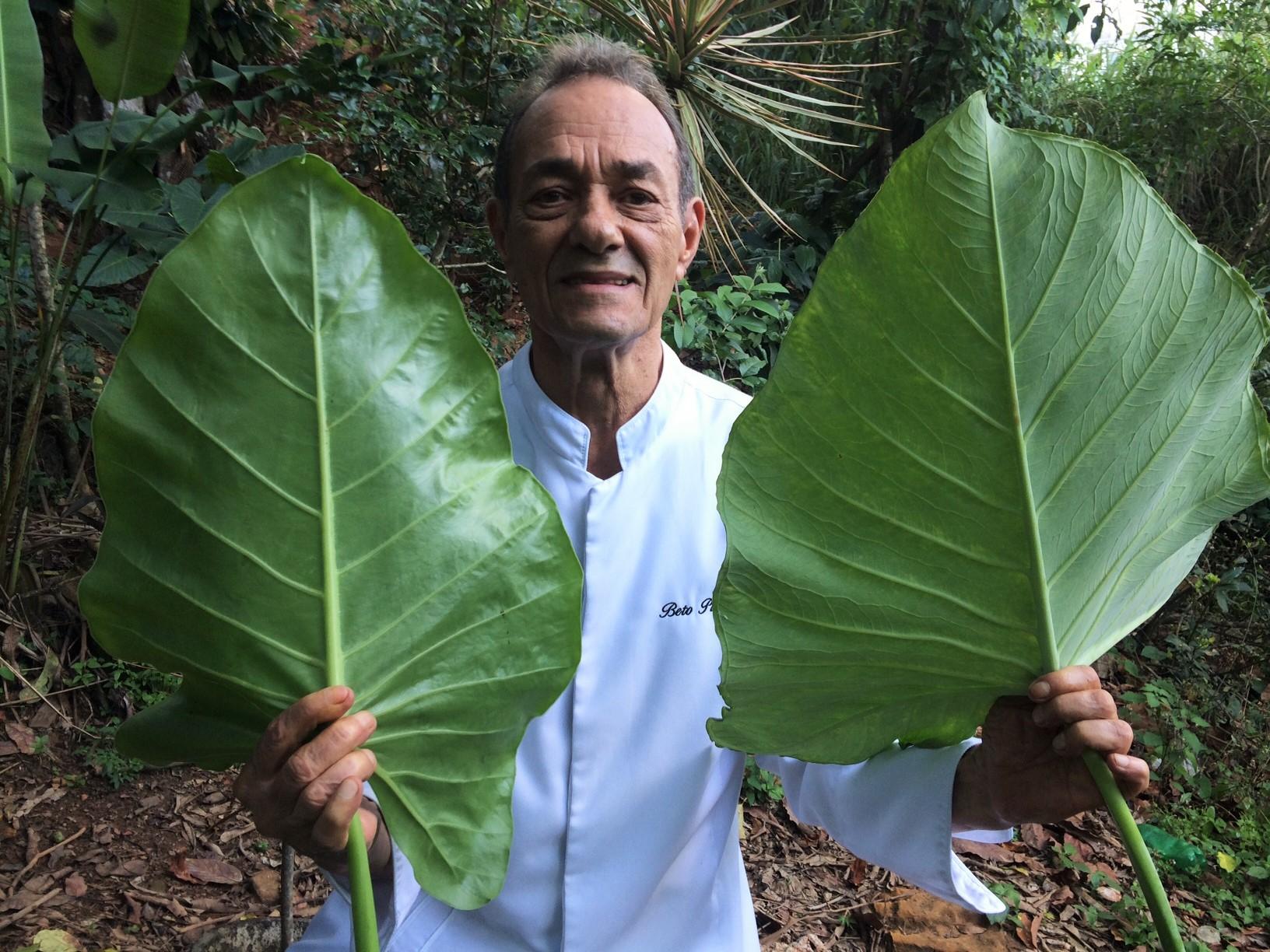 Comparação: taioba brava (não comestível) do lado esquerdo e taioba mansa (comestível) do lado direito.